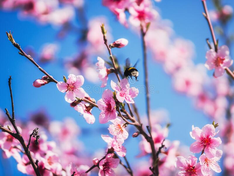 Bee bumblebee flies up to the spring blossoming pink flowers of fruit tree branches. A bee bumblebee flies up to the spring blossoming pink flowers of fruit tree stock photos