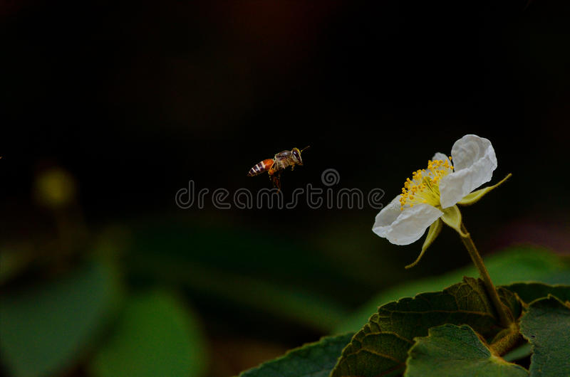 Bee and Butterfly royalty free stock image