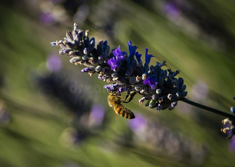 Bee extracting nectar from a lavender flower. royalty free stock photos