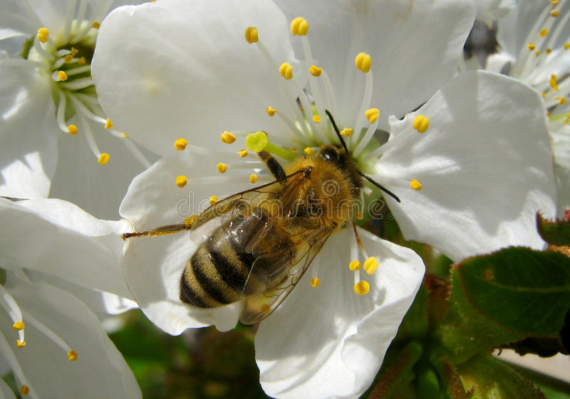 Bee on a cheery blossom stock images