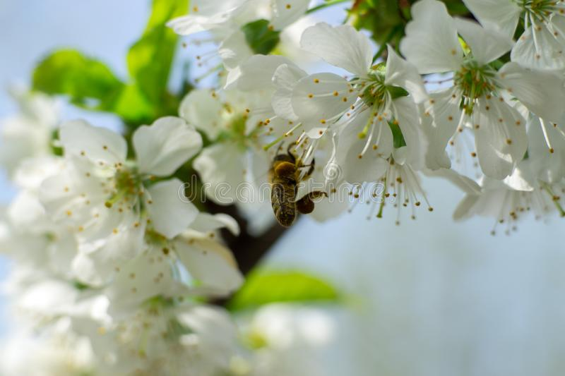 A Bee on Cherry Flower stock photography