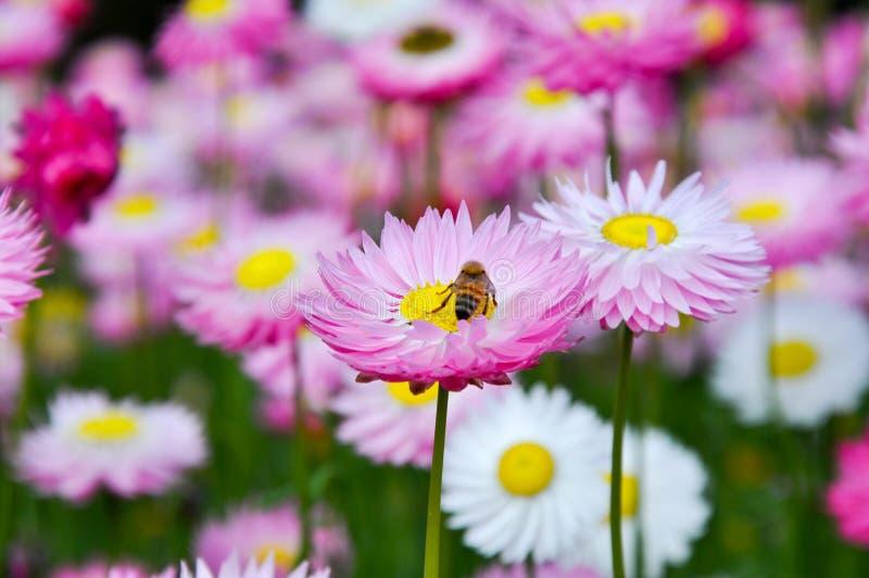 Bee Circling the Daisy royalty free stock image