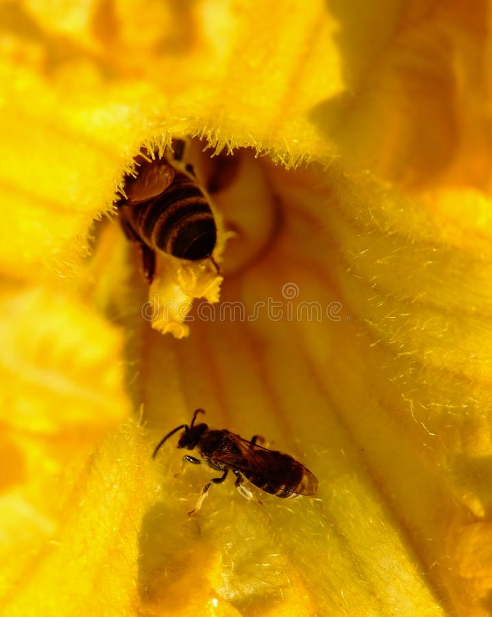 The bee climbed into a yellow pumpkin flower to collect honey and pollen stock photography