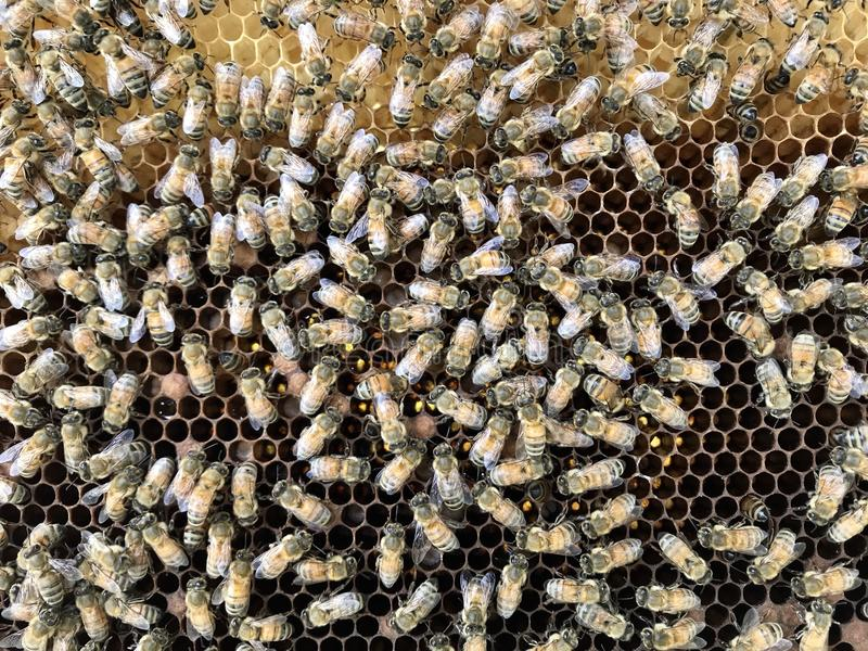 Bee. Close up bees crawl on honeycomb in apiary. agriculture, apiary, apiarist, apiculture, bee, beehive, beeswax, cell, closeup, comb, delicious, detail, diet royalty free stock images