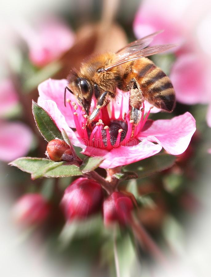 Bee close up on pink flower with zoom burst & white frame high quality stock photography