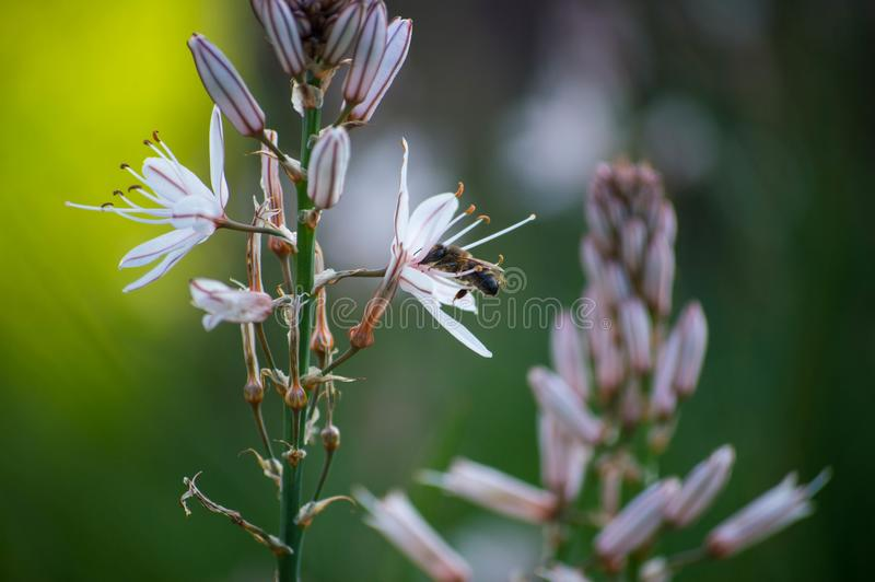 Bee on the flower collecting royalty free stock photography