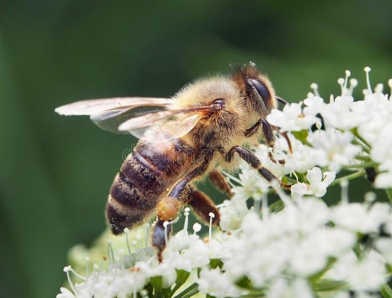 Bee Closeup Royalty Free Stock Photography
