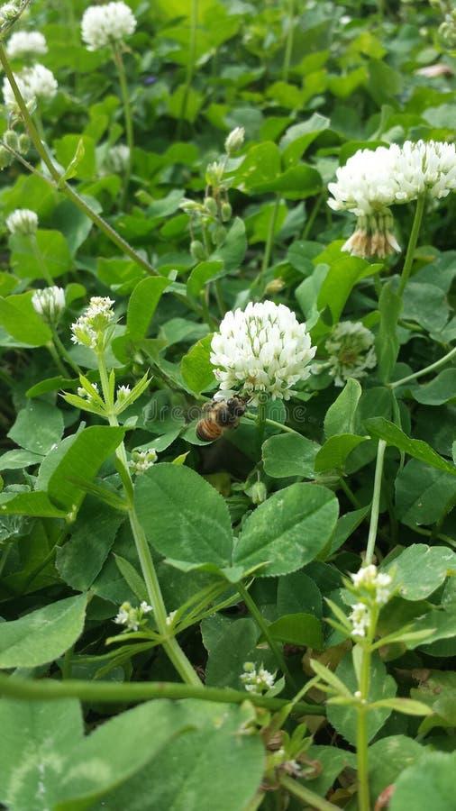 A bee in clover royalty free stock photos