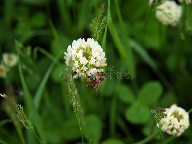 Bee on the clover flower stock photo