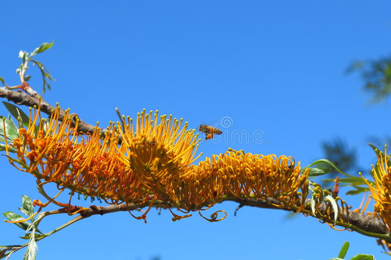 Southern Silky Oak flowering branch with bee by blue sky royalty free stock photography