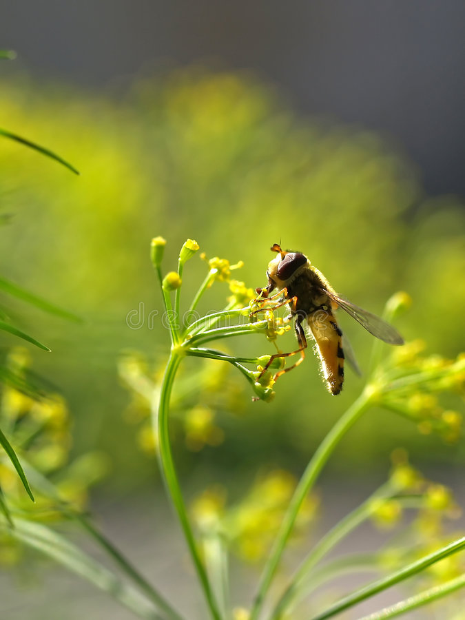 Bee collecting honey on a dill stock photography