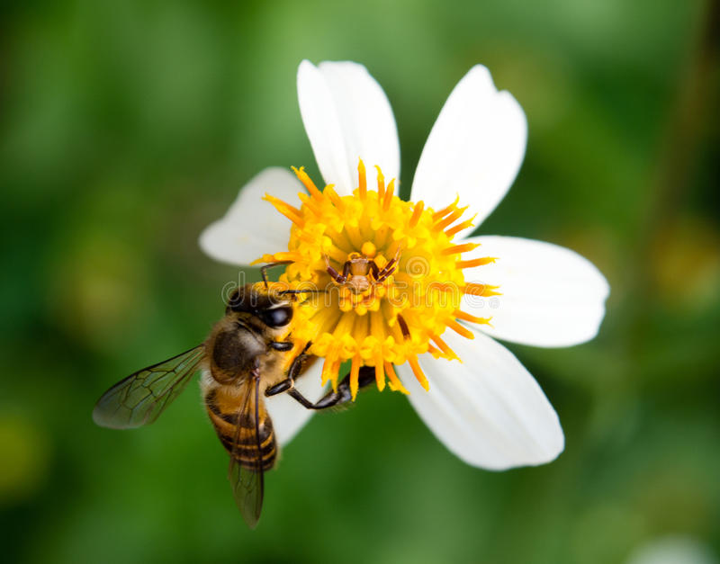 Bee collecting honey on a little yellow flower stock photo