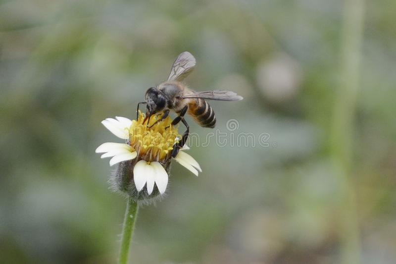 A Bee Is Collecting The Honey. A bee is staying to collect the honey on the flower stock image