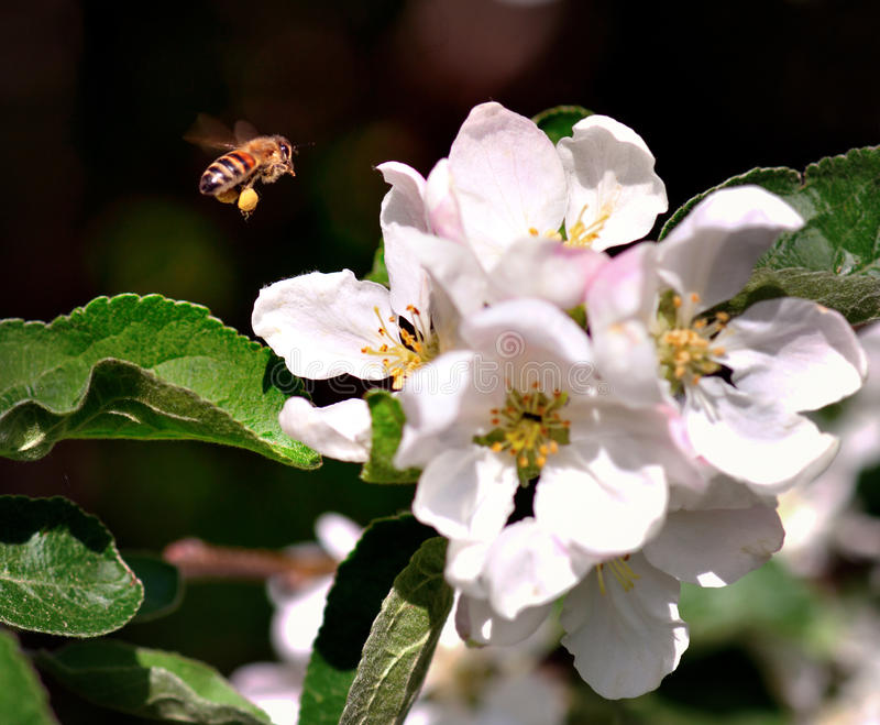 Download Bee collecting nectar stock photo. Image of nature, branch - 29094640