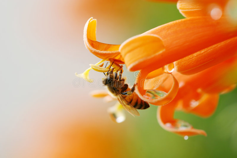 A bee collecting nectar. Close up of a bee collecting nectar from an orange flower, shiney drops of water on the flower royalty free stock photo