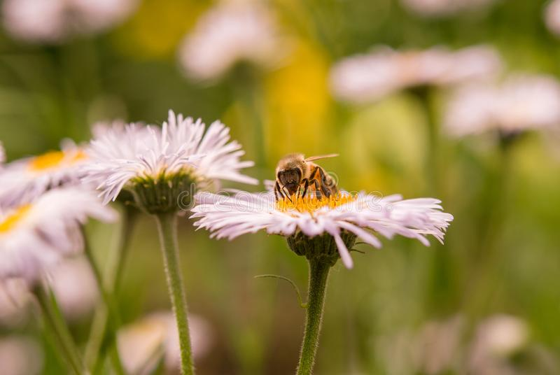 A bee collecting nectar from a chamomile flower on a daisy field in the sunlight stock image