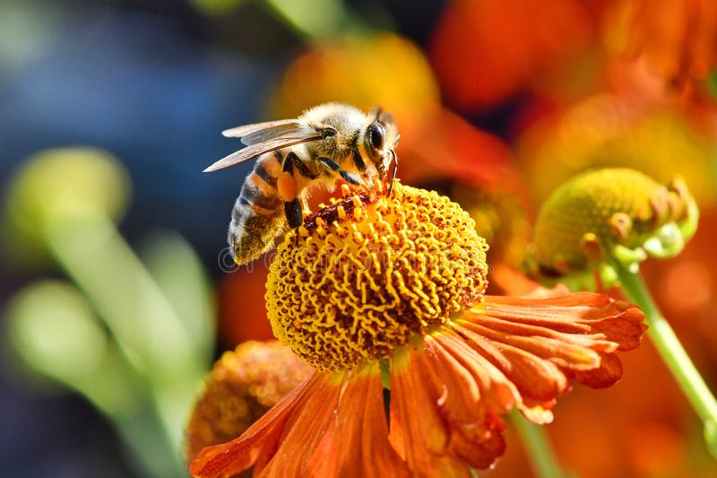 Bee collecting nectar from orange flower stock photo