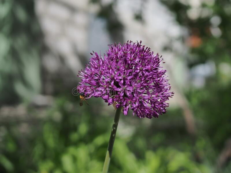Bee collecting nectar on purple alum garlic flower. macro close-up.  stock image