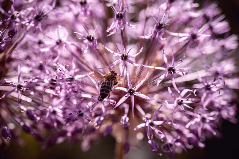 Bee collecting nectar on purple alum garlic flower. macro close-up. selective focus shot with shallow DOF vector illustration