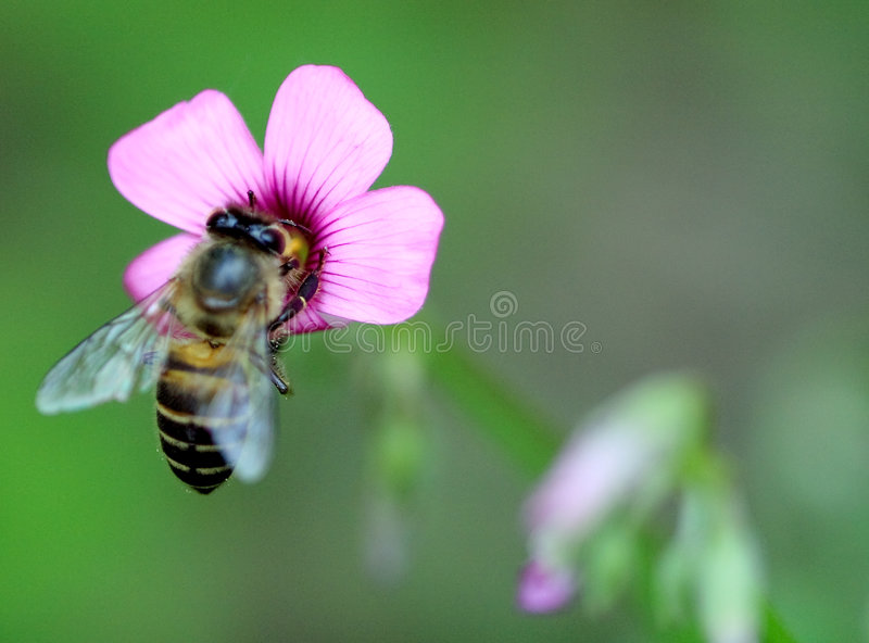 Bee collecting pollen. A Bee hovering while collecting pollen. Hairs on Bee are covered in yellow pollen as are it's legs stock photography