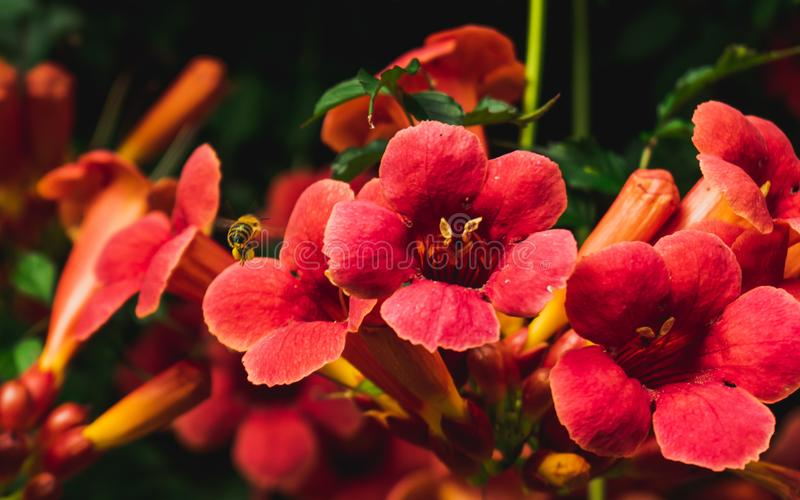 Bee collecting pollen from beautiful bright red trumpet vine blossoms royalty free stock image