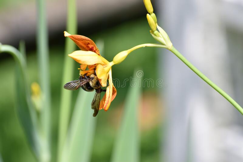Bee and Blackberry Lily in the Garden. A bee collecting pollen from a blackberry lily. Shot in direct sunlight stock photo
