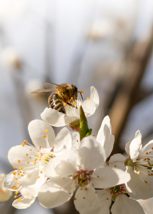 Bee collecting pollen on blossoms of the cherry tree royalty free stock images