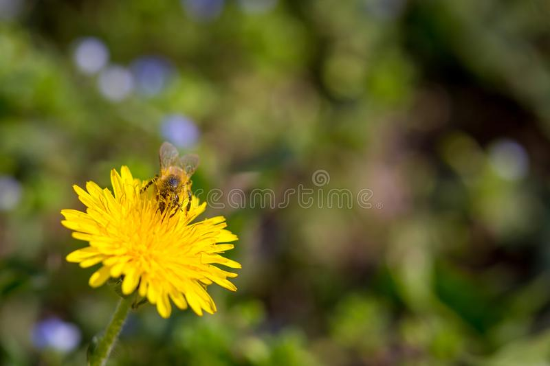 Bee collecting pollen on bright yellow dandelion flower. Taraxacum blossoming flower.  royalty free stock photo