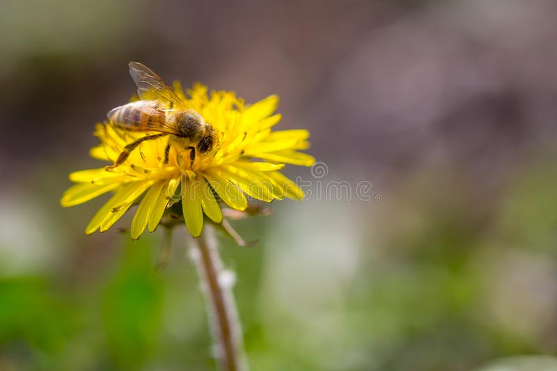 Bee collecting pollen on bright yellow dandelion flower. Taraxacum blossoming flower.  stock photography