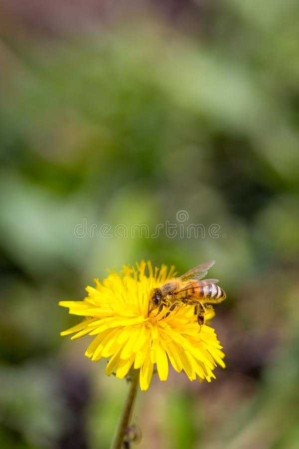 Bee collecting pollen on bright yellow dandelion flower. Taraxacum blossoming flower.  stock photos