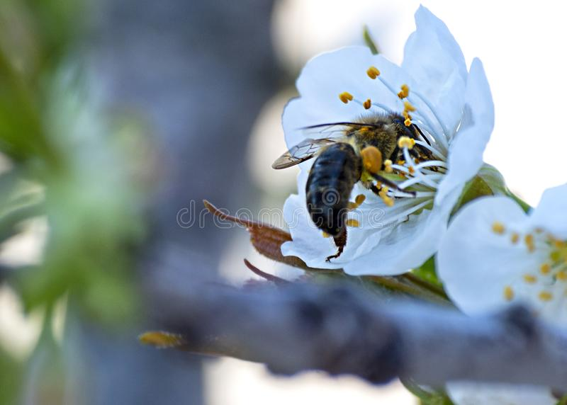Bee collecting pollen on a cherry blossom stock photos