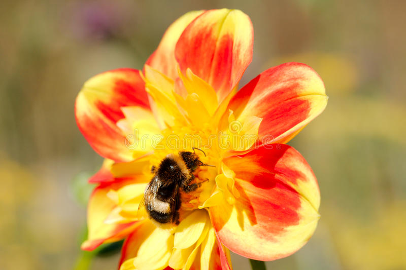Bee collecting pollen from dahlia. In a park royalty free stock image