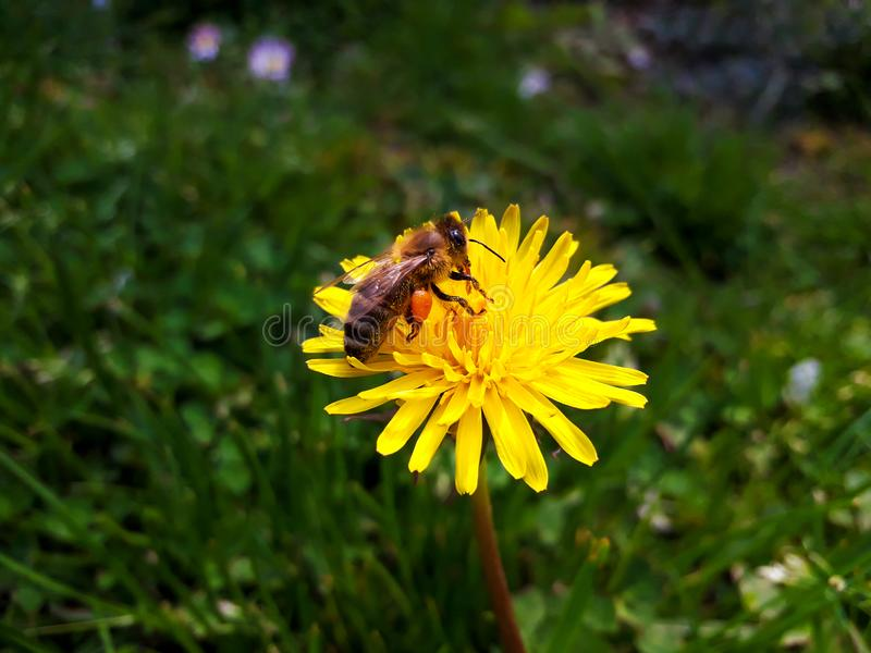 Bee Collecting Pollen. Honey Bee Apis Mellifera Carnica Collecting Pollen from Dandelion Flower stock photo
