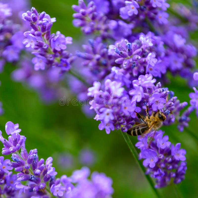Bee collecting pollen on lavender flowers in bloom, blooming lavender with bee in summer stock photos