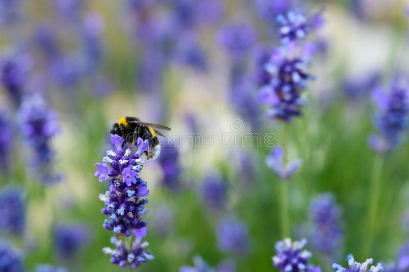 Bee collecting pollen on lavender flowers in bloom, blooming lavender with bee in summer stock photography