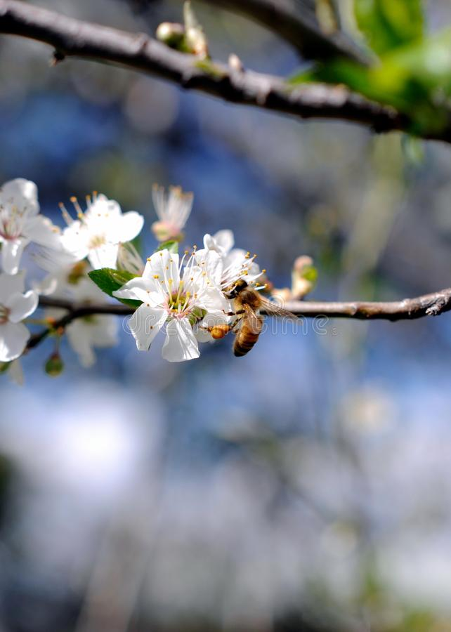 Bee Feeding On Apple Blossoms In Spring royalty free stock images