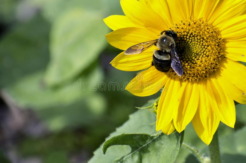 Bee Collecting Pollen on a Sunflower royalty free stock images