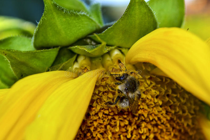 A bee collecting pollen from a sunflower. Macro photo of a bee collecting sunflower`s pollen. Macro of a bee on a sunflower head. Bee extracting pollen from royalty free stock image
