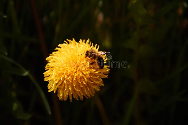 Bee collecting pollen in yellow dandelion flower. Nature green macro outdoor animal field meadow plant spring summer insect blossom floral season sunny wildlife royalty free stock image