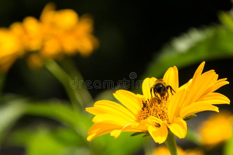 Bee collecting pollen from a yellow flower in summertime. Solitary bee on a bright yellow flower head collecting pollen in summertime stock photo