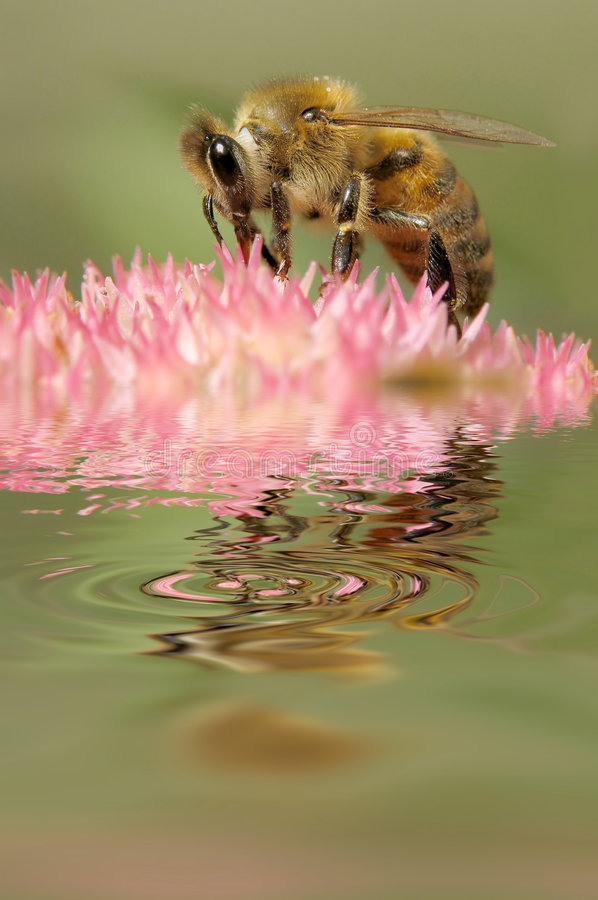Bee collects flower nectar. Bee collects nectar on field flower royalty free stock photo