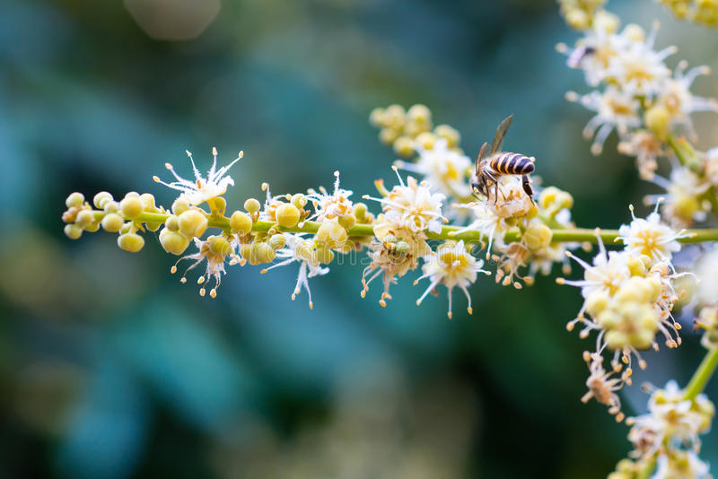 Bee collects flower nectar from longan flower. Working bee collects flower nectar from longan flower stock image