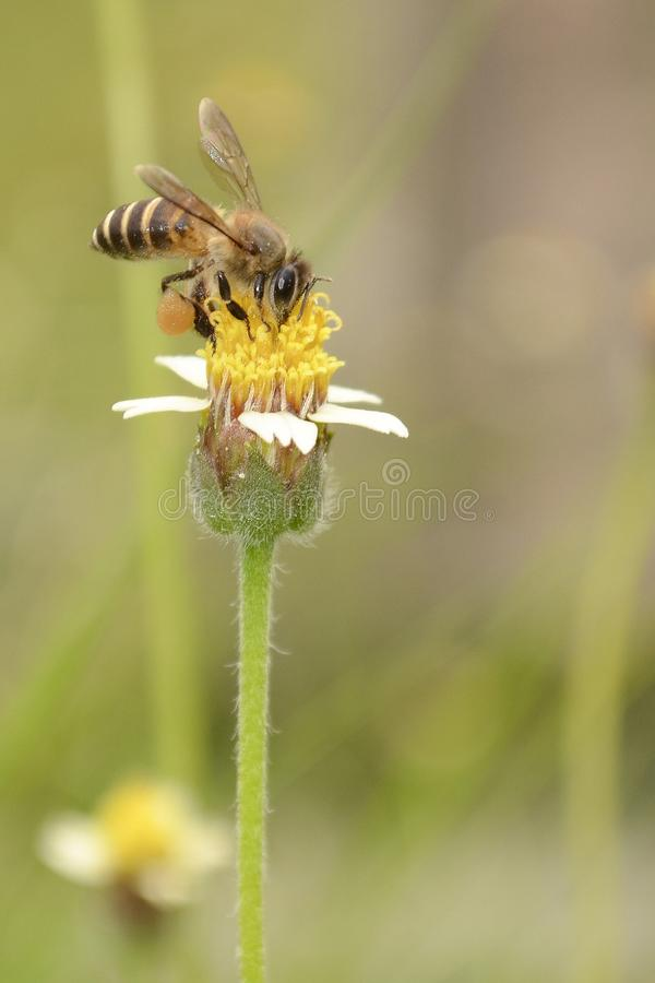 Bee Collects Honey On The Flower. A bee collects honey and stay on the flower stock photos