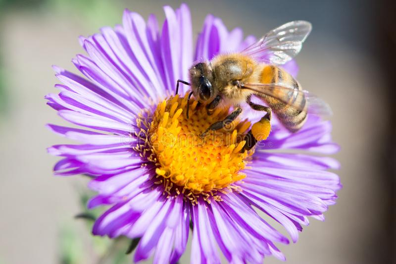 Bee on a flower close up. The bee collects honey and pollinates the flower of a medicinal plant of echinacea stock photos