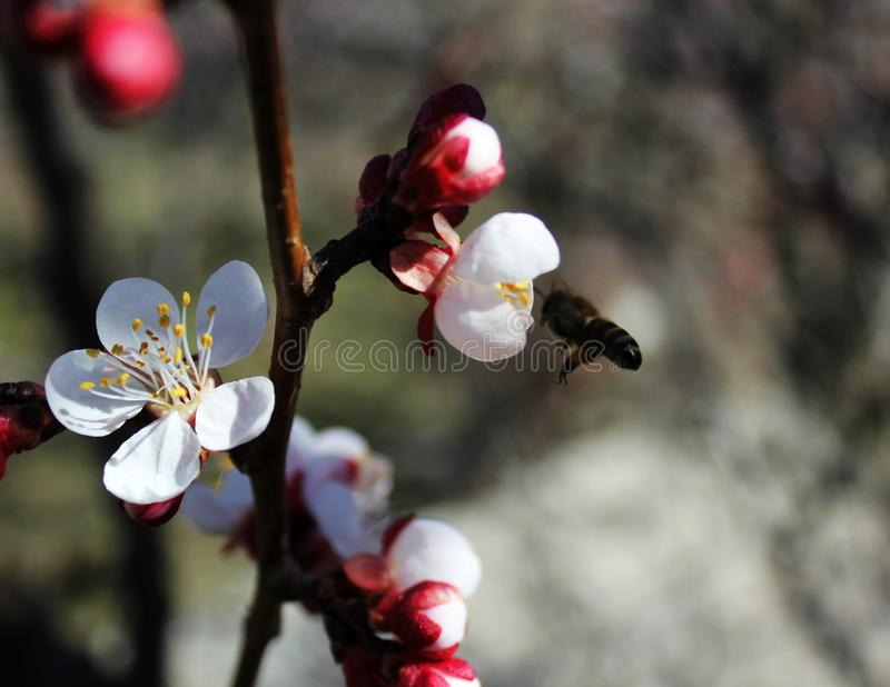 The bee collects nectar from apricot flowers, plum flowers in spring with pink petals and bright red flowers, white and pink petal. S and stamens, insect bees stock photo