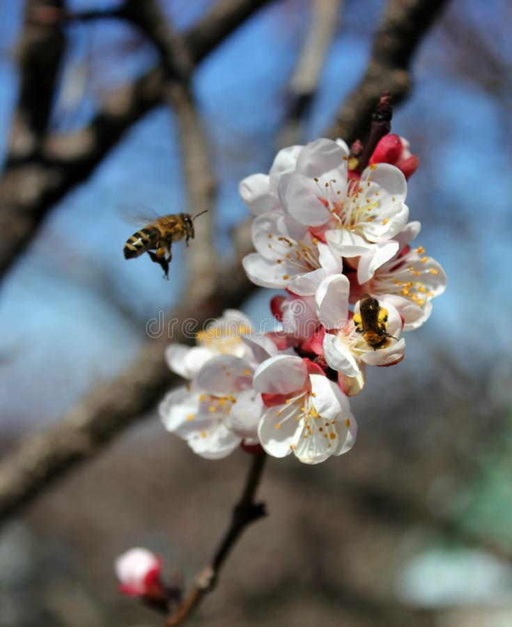 The bee collects nectar from apricot flowers, plum flowers in spring with pink petals and bright red flowers, white and pink petal. S and stamens, insect bees stock photos