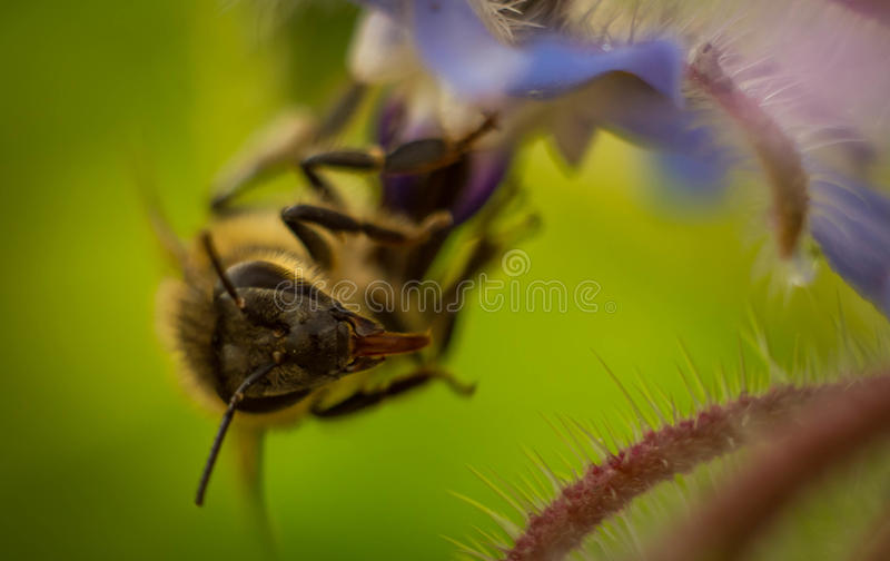 a bee collects nectar royalty free stock image