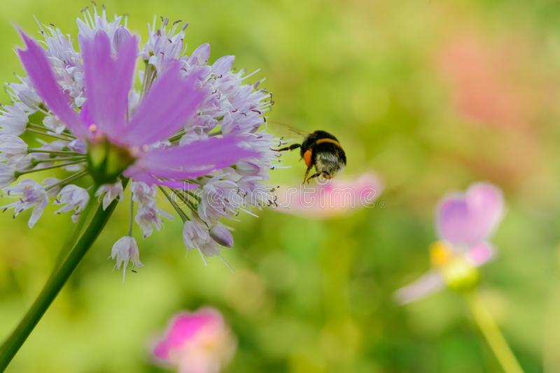 A bee collects nectar from a flower. On a green meadow royalty free stock images