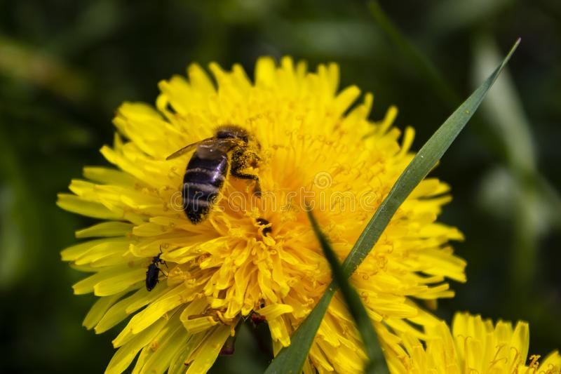 Bee collects nectar from a flower stock photos