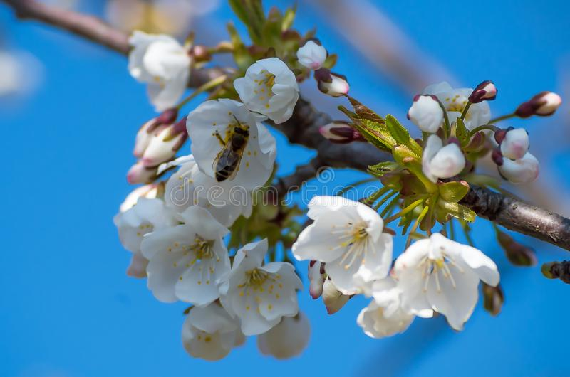 Bee collects nectar from flowering cherries in the spring. Flowers of cherry against the background of blue spring sky. White stock images